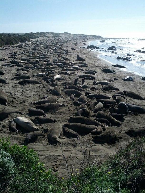 Elephant Seals Piedras Blancas