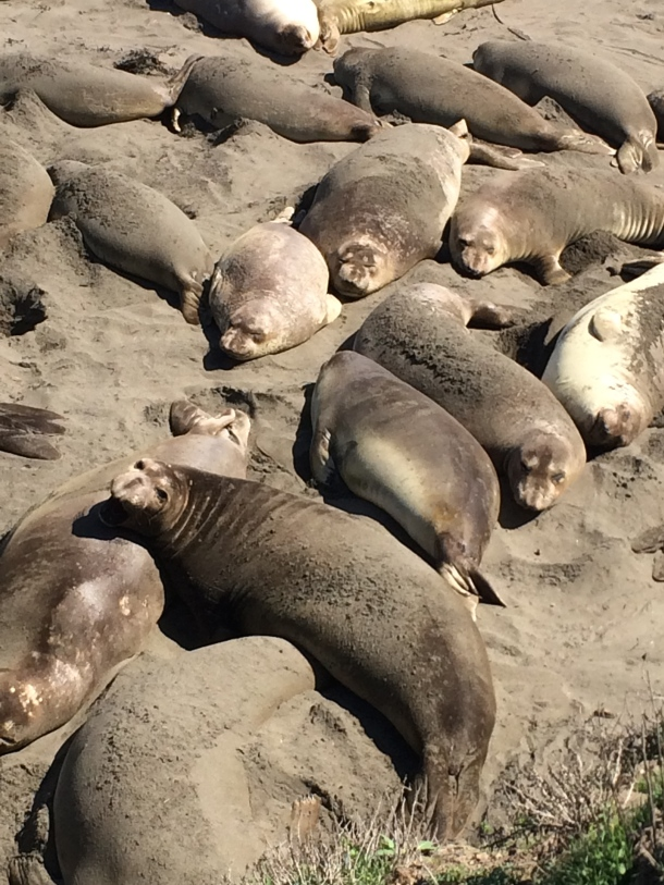 "Elephant Seals, San Simeon (""Hooky, Housekeeping...and a haiku"") // the pig & quill"